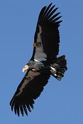 170px-Condor_in_flight