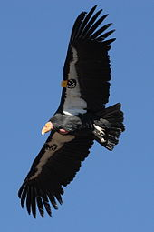 170px-Condor_in_flight